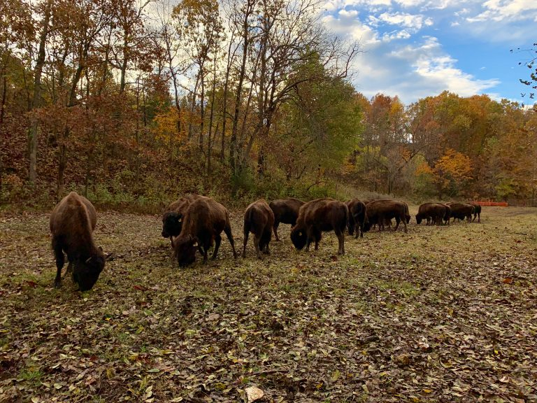 Bison with Fall Colors