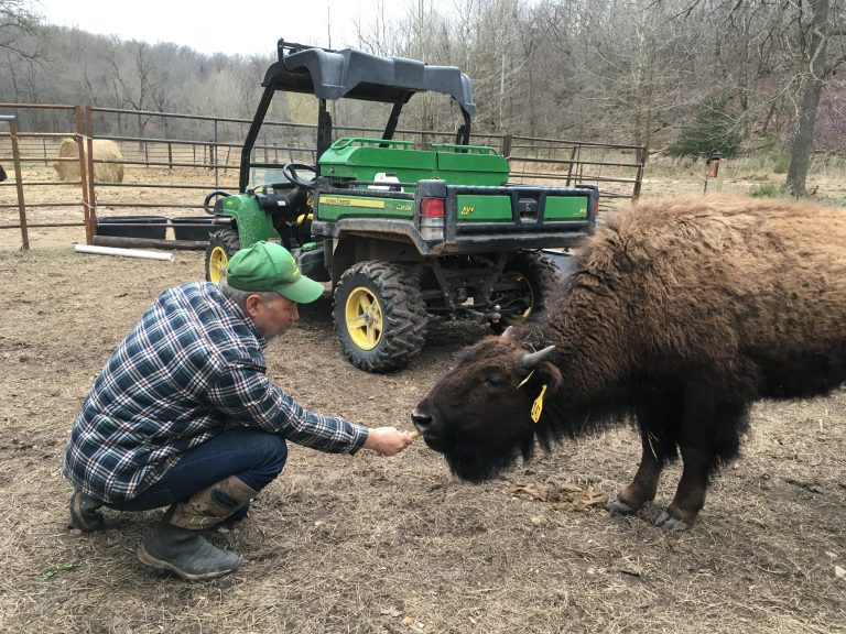 Hand Fed Bison